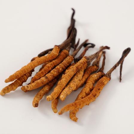 冬虫夏草批发时如何买到好的虫草?